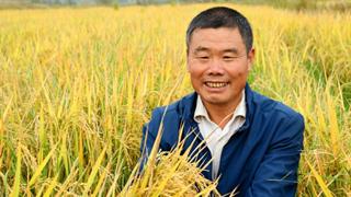淮滨:万亩再生稻再夺丰收