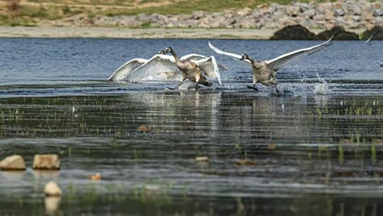 贾鲁河畔  天鹅归来