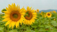 安徽巢湖:百万葵花向阳开