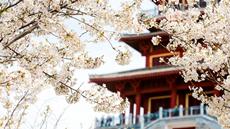 黄河岸边,千亩樱花绚烂绽放