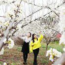 淅川·老城第二届李花节将于3月8日盛大开幕