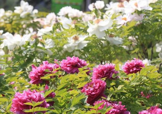 郑州植物园牡丹盛放