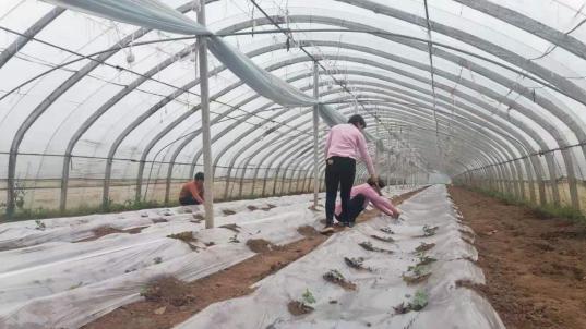 郏县安良镇:大学生返乡种菜走上致富路