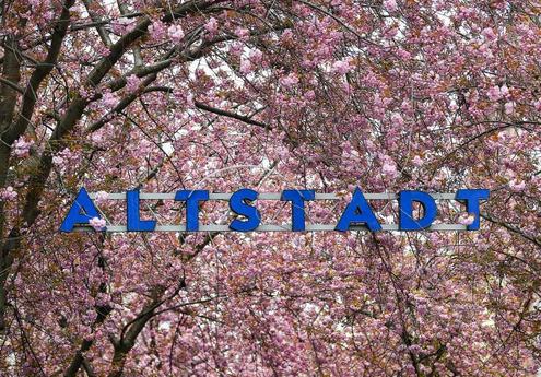 德国波恩:樱花盛开