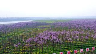 息县:淮河岸畔桐花开 踏青赏花正当时