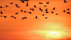 吉林镇赉:候鸟迁徙进行时