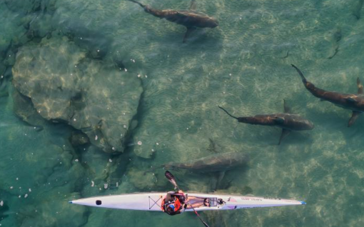 与鲨同行 以色列浅水区聚集大量黑鲨