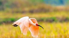 """一批鸟类晋级""""国保"""" 罗山董寨""""国保""""鸟类达71种"""