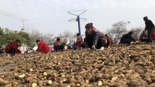 整地备耕种姜忙 乡村振兴产业旺