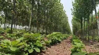国有襄城县林场大力发展槲树苗圃基地建设