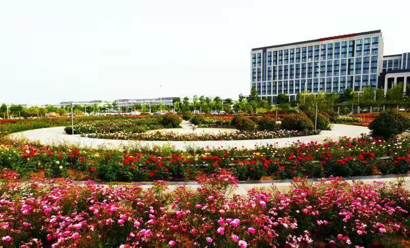郑州航空港实验区青年公园6万株玫瑰盛放美如画