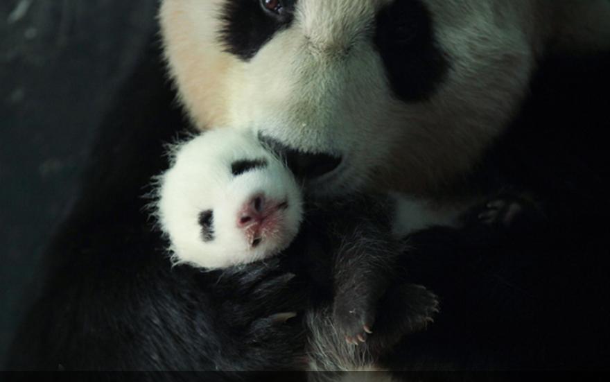 四川卧龙:熊猫幼崽茁壮成长