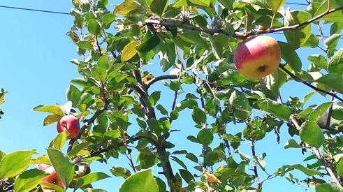河南泌阳:夫妇返乡种苹果 昔日荒山变金山