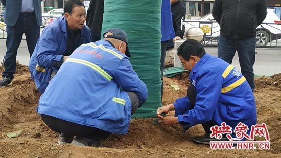 """好消息!洛阳为地铁修建""""让路""""的首批8棵法桐今日""""回家"""""""