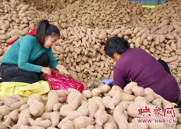 """红薯获丰收 兄弟俩种出""""金疙瘩"""""""