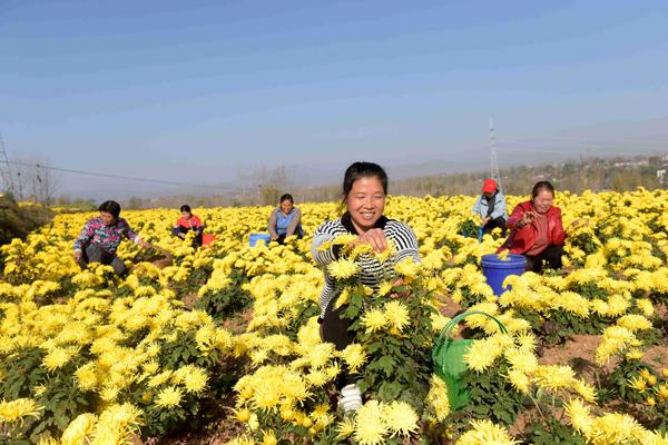 嵩县:返乡青年种菊花 带乡邻奔致富路