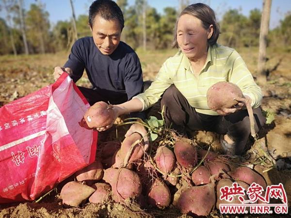 """南阳市桐柏县毛集镇:小红薯变成脱贫致富""""金疙瘩"""""""