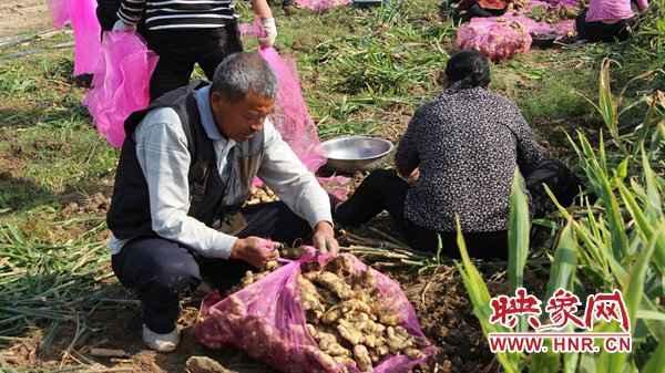 """新蔡县河坞乡:生姜地里""""话""""丰收"""