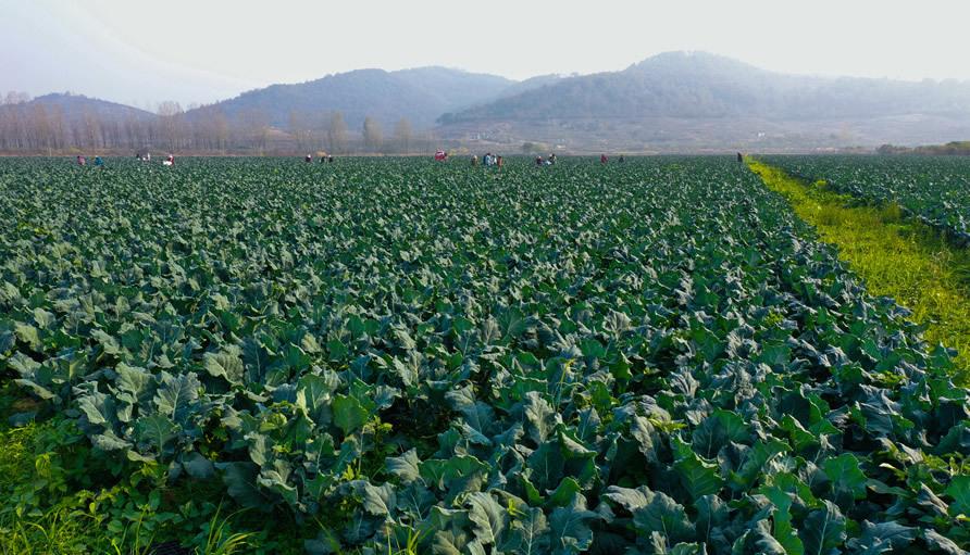 河南光山: 特色蔬菜种植富乡亲