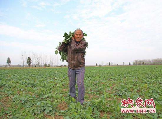淮滨县毛庄萝卜丰收采摘忙 造福淮河两岸群众
