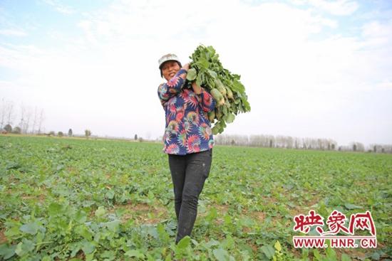 淮滨县:毛庄萝卜丰收采摘忙 农民致富喜开颜
