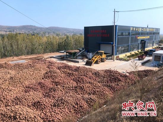 郏县白庙乡:红薯卖到家门口 脱贫增收有干头