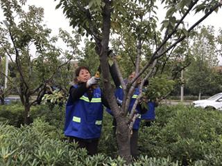 汝州市住建局积极开展秋季绿植修剪工作