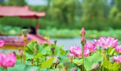 乐翻整个夏天 孟津第17届会盟银滩荷花节将于20日开幕