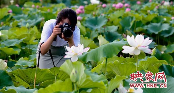 2020年淮阳龙湖赏荷旅游月将于7月10日盛大启幕