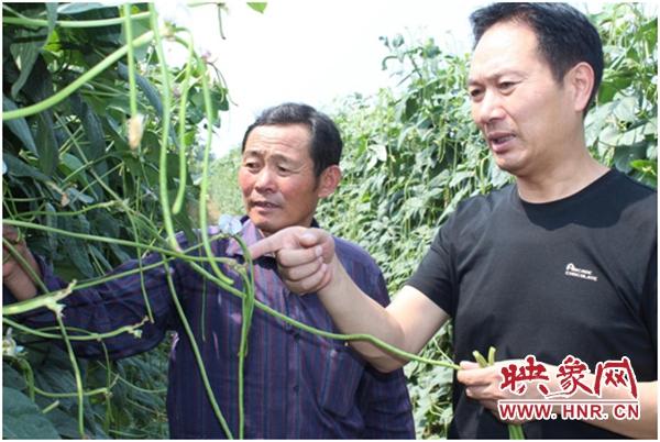 通许县朱砂镇:115户贫困户通过豆角种植实现脱贫
