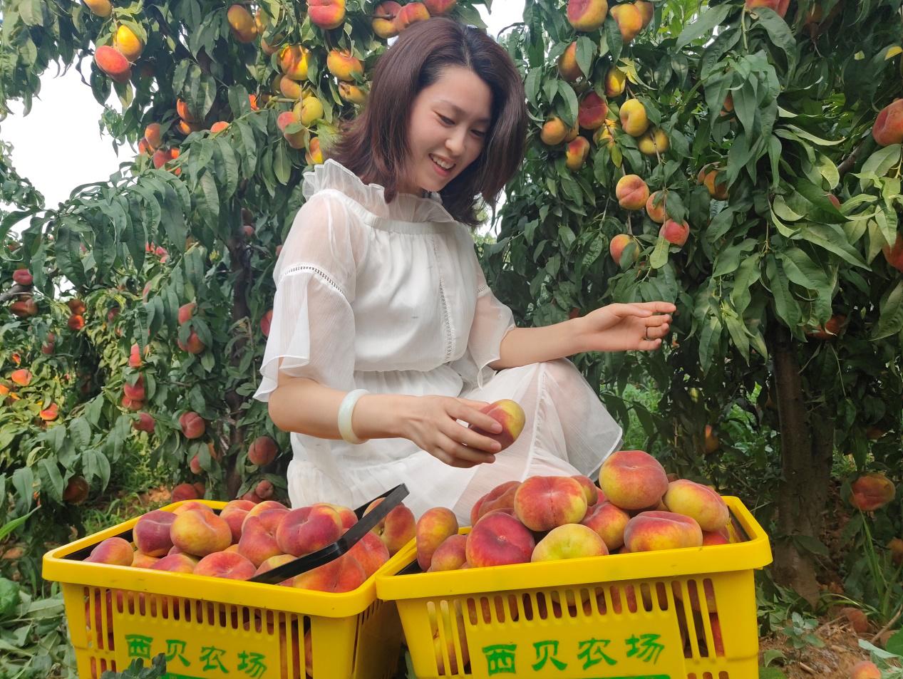 伊川县:百亩果子成熟 游客纷至沓来