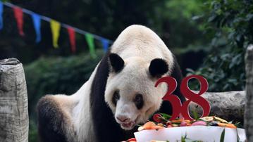 世界现存最年长圈养大熊猫迎来38岁生日