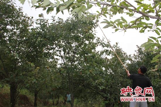 鲁山县团城乡:板栗种植拓宽村民致富路