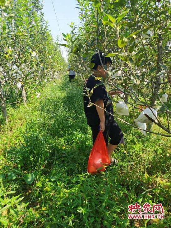 河南宝丰:种植经果林 带富一方人