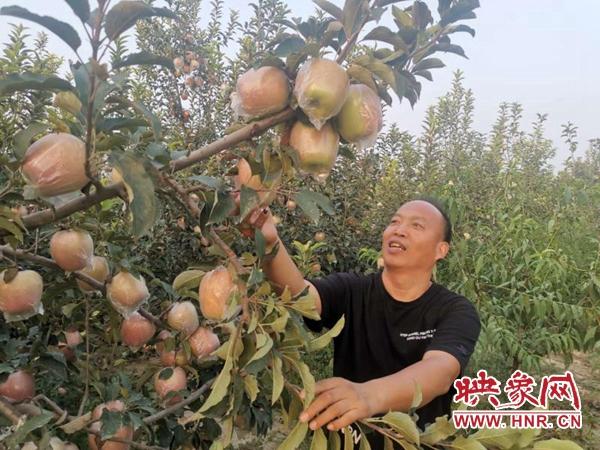 """杞县:""""傻子·尚""""苹果装进粤港澳大湾区""""菜篮子"""""""