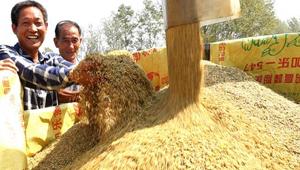 淮滨:淮河以南水稻迎来机收高峰期