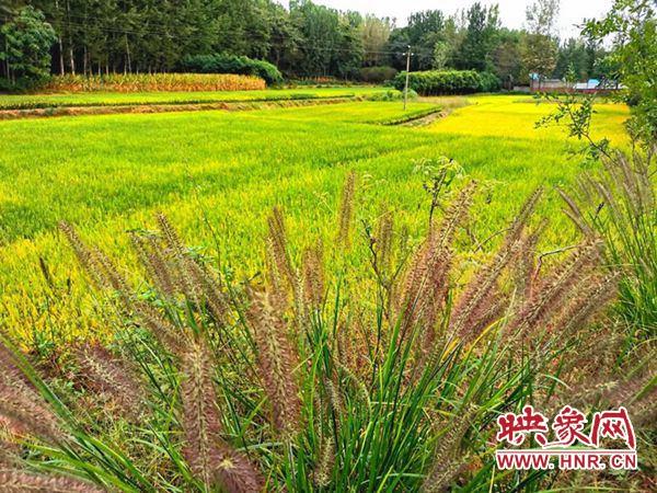 泌阳县稻谷高粱喜获丰收 红彤彤成最美风景