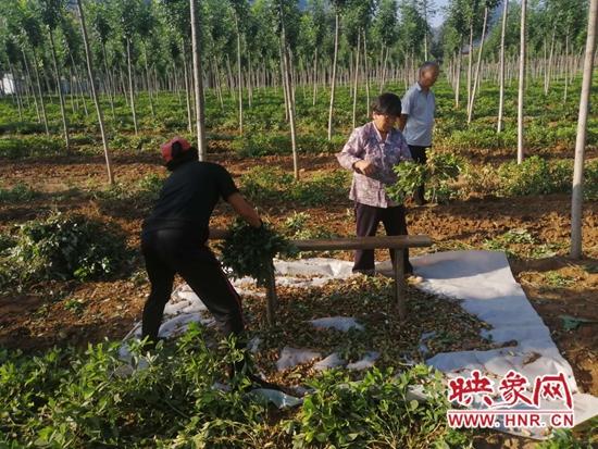 洛宁县郭庄村:特色种植产业助力脱贫致富