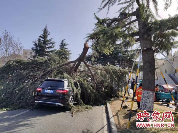 郑州高新区瑞达路一棵松树被大风吹断 砸中两辆途经车辆