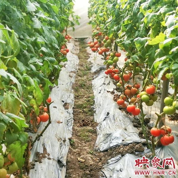 息县:蔬菜大棚里结出致富增收果