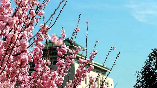 河南鲁山:辛夷花开报春来