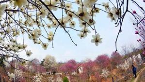 南召县:玉兰飘香溢山乡