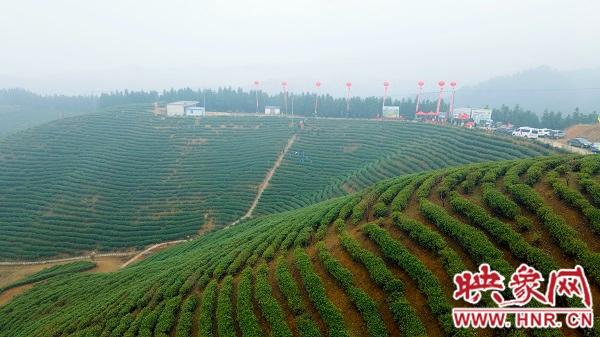 光山县举行2021信阳毛尖白雀园大尖山首采仪式