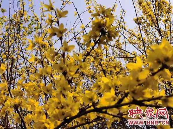 南阳:方城县举行第五届连翘花节新闻发布会