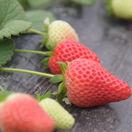 """杞县:特色种植""""莓""""出幸福生活"""