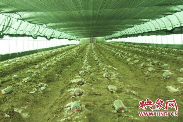 虞城:大球盖菇拓宽乡民致富路