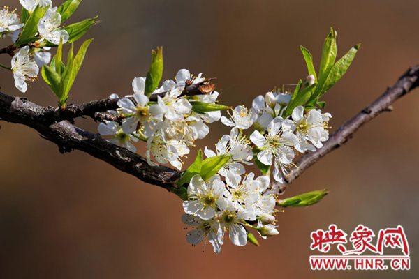 南阳市淅川县老城镇第二届李花节将于3月8日盛大开幕