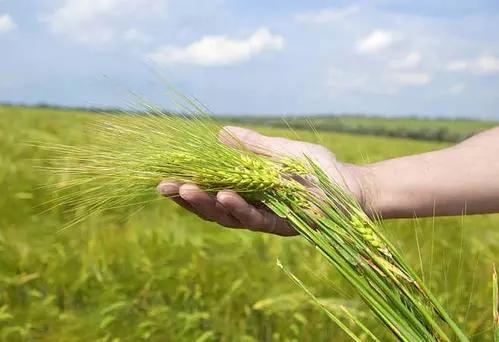 全靠国产自育品种 小麦播种面积减少产量却大增