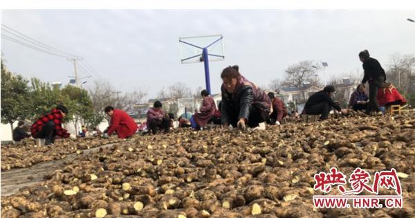 郏县冢头镇:整地备耕种姜忙 乡村振兴产业旺
