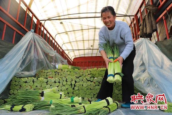 杞县10万亩早熟蒜薹喜获丰收